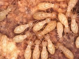 شركة مكافحة النمل الابيض بالدوادمى