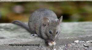 شركة رش الفئران بسيهات