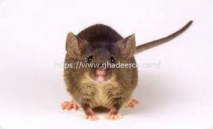 شركة رش الفئران بالاحساء
