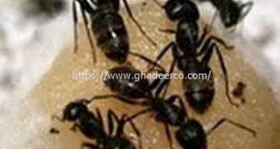 شركة امست لمكافحة الحشرات بالدمام