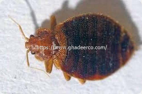 شركة ماسه لمكافحة الحشرات بالظهران