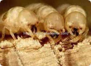 شركة مكافحة النمل الابيض بام الساهك