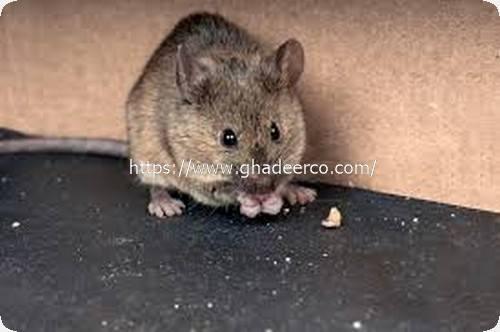 شركة مكافحة الفئران بعنك