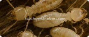 شركة رش النمل الابيض بعنك